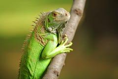 Iguane dans le sauvage Photographie stock libre de droits