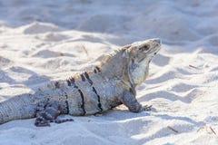 Iguane dans le sauvage Maya de la Riviera, Cancun, Mexique Noircissez l'iguane épineux-coupé la queue, l'iguane noir, ou le cteno Images stock