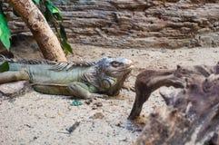 Iguane dans le zoo Images stock