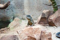 Iguane dans le zoo Image libre de droits