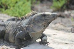 Iguane dans les ruines de Tulum, Mexique Photos stock