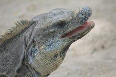 Iguane dans les ruines de Tulum, Mexique Image libre de droits