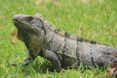 Iguane dans les ruines de Tulum, Mexique Images libres de droits