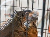 Iguane dans une cage Photos stock