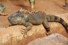 Iguane de Brown Photographie stock