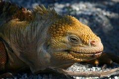 Iguane de cordon, îles de Galapagos Photos libres de droits