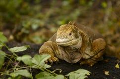 Iguane de cordon d'île de Galapagos Photographie stock libre de droits