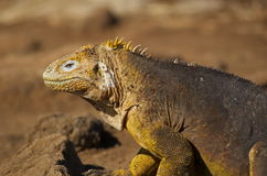 Iguane de cordon de Galapagos Photographie stock libre de droits