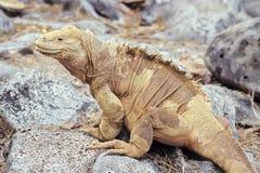 Iguane de cordon de Santa Fe, îles de Galapagos, Equateur Photographie stock