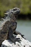 Iguane de Galapagos Images libres de droits
