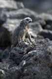 Iguane de Galapagos photo stock