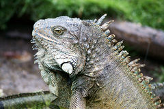 Iguane de l'Equateur Image libre de droits