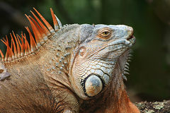 Iguane de mâle adulte Photos stock