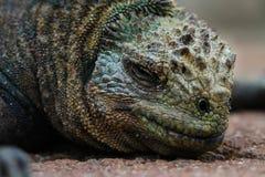 Iguane de sommeil Photographie stock libre de droits
