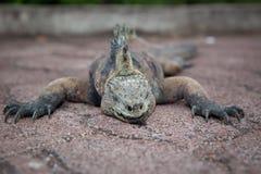 Iguane de sommeil Image stock