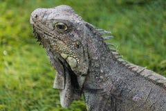 Iguane de terre de Brown chez Parque de las Iguanas Image libre de droits
