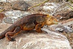Iguane de terre de Galapagos Photos libres de droits