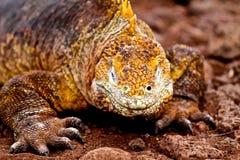 Iguane de terre de Galapagos Images libres de droits