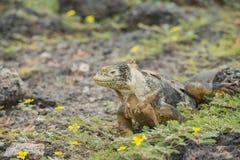 Iguane de terre de Galapagos Photo libre de droits