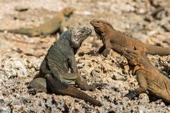 Iguane del rinoceronte sullo scaldarsi delle rocce fotografia stock libera da diritti