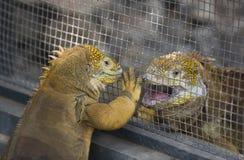 Iguane dello sbarco del Galapagos Fotografia Stock