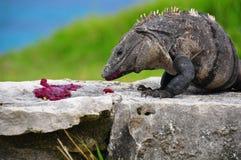 Iguane des Caraïbes, Mexique Images libres de droits