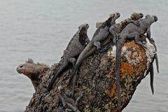 Iguane di Galapagos Immagini Stock Libere da Diritti