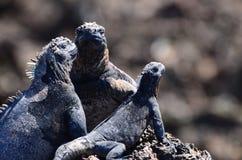 Iguane di Galapagos Immagini Stock