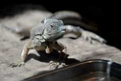 Iguane-Eidechsen-Porträtnahaufnahme Stockbild