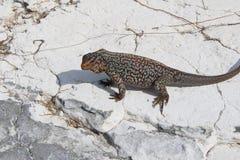 Iguane en île des Caraïbes, Bahamas images libres de droits