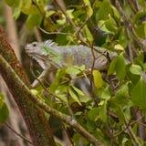 Iguane errant autour de Carriacou photographie stock