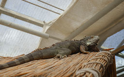 Iguane et papillon verts Photographie stock libre de droits