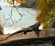 Iguane exposant au soleil sur le bois de flottage Image libre de droits