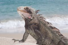 Iguane (iguane d'iguane) Photo stock