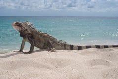 Iguane (iguane d'iguane) Photographie stock libre de droits