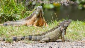 Iguane (iguane d'iguane) Image stock