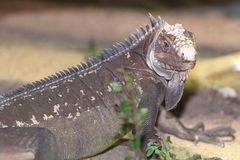Iguane indien occidental Photos libres de droits