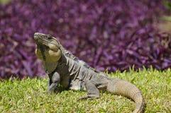 Iguane lézardant au soleil Image libre de droits