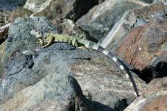 Iguane le Sun Images stock