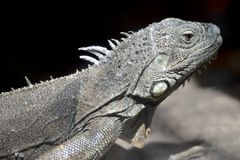 Iguane lizard portrait close-up Stock Image