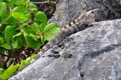 Iguane mâle des Caraïbes dominant, Mexique Images libres de droits