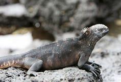 Iguane marin photographie stock libre de droits