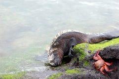 Iguane marin alimentant sur des algues photographie stock