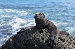 Iguane marin de Galapagos Photos stock