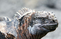 Iguane marin de Galapagos photographie stock libre de droits