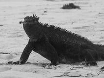 Iguane marin de Galapagos, cristatus d'Amblyrhynchus, sur la plage dans des îles de Galapagos, l'Equateur photographie stock