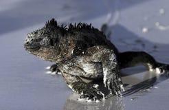 Iguane marin marchant le long de la plage sablonneuse Image libre de droits