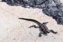 Iguane marin parc national sur d'Espanola île, Galapagos, Ecuad Photographie stock libre de droits