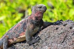 Iguane marin parc national sur d'Espanola île, Galapagos, Ecuad Images libres de droits
