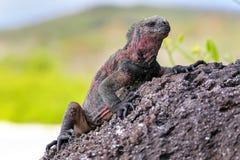 Iguane marin parc national sur d'Espanola île, Galapagos, Ecuad Image libre de droits